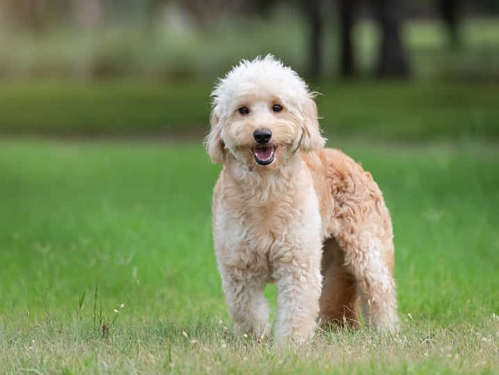F1B Petite Goldendoodle Momma Hono Standing Outside in the Grass in Front of a Forest of Green Grass and Trees