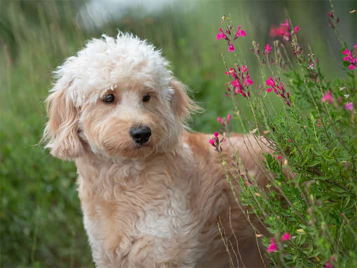 F1B Petite Goldendoodle Momma Hono Standing Outside Amongst Purple Flowers Newly Blooming