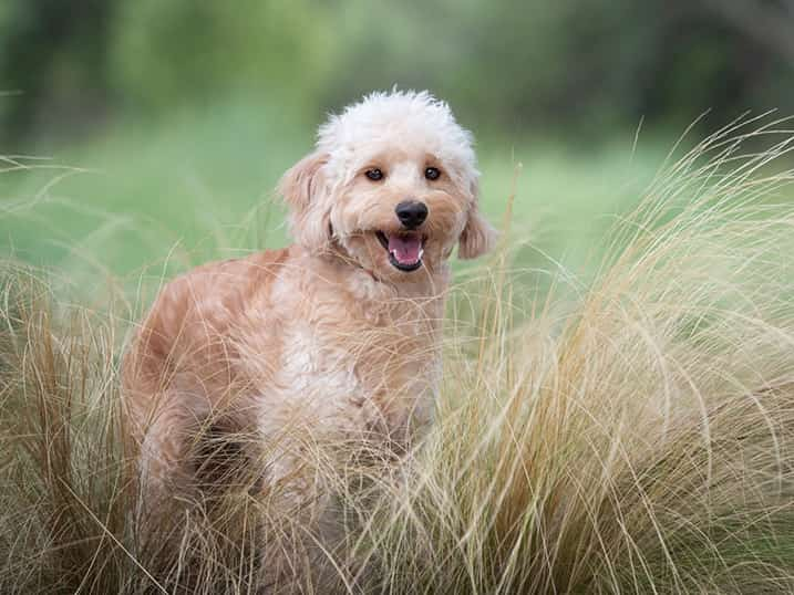 F1B Petite Goldendoodle Momma Hono Standing in Tall Long Grass Bushes with a Huge Smile on Her Face
