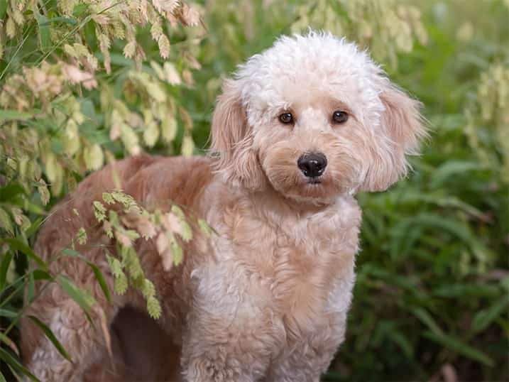 F1 Miniature Goldendoodle Momma Maui Standing in Front of Green Bushes Looking Forward with a Serious Face