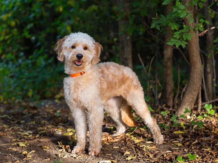 F1B Petite Goldendoodle Momma Hono Standing Outside with a Forest Behind Her