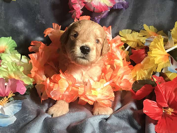 F1B Petite Goldendoodle Momma Hono as a Three Week Old Puppy with Hawaiian Leis
