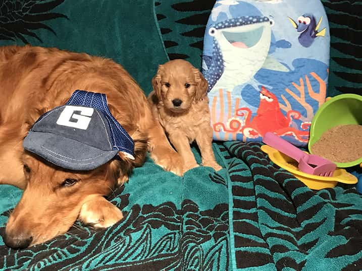 F1B Petite Goldendoodle Momma Hono as a Five Week Old Puppy Standing Next to Her Mother Maui Surrounded with Beach Gear