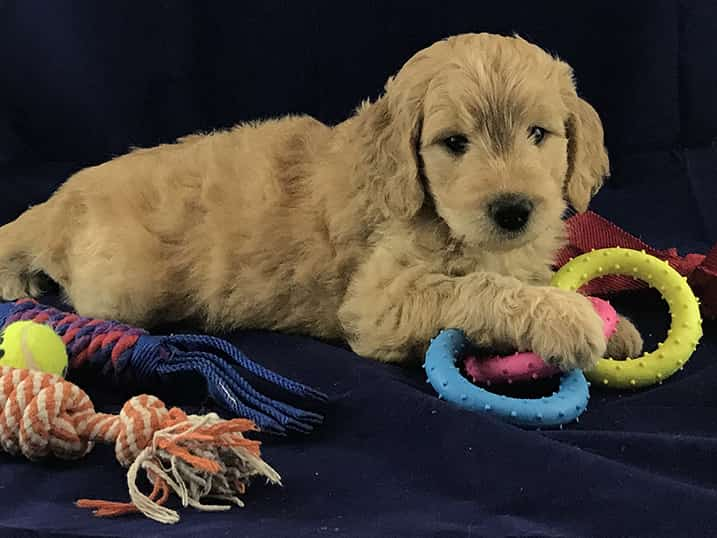 F1B Petite Goldendoodle Momma Hono as a Six Week Old Puppy Laying Down with Toys All Around Her