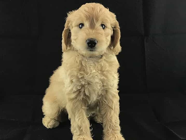 F1B Petite Goldendoodle Momma Hono as a Seven Week Old Puppy Sitting Tall in Front of a Black Backdrop